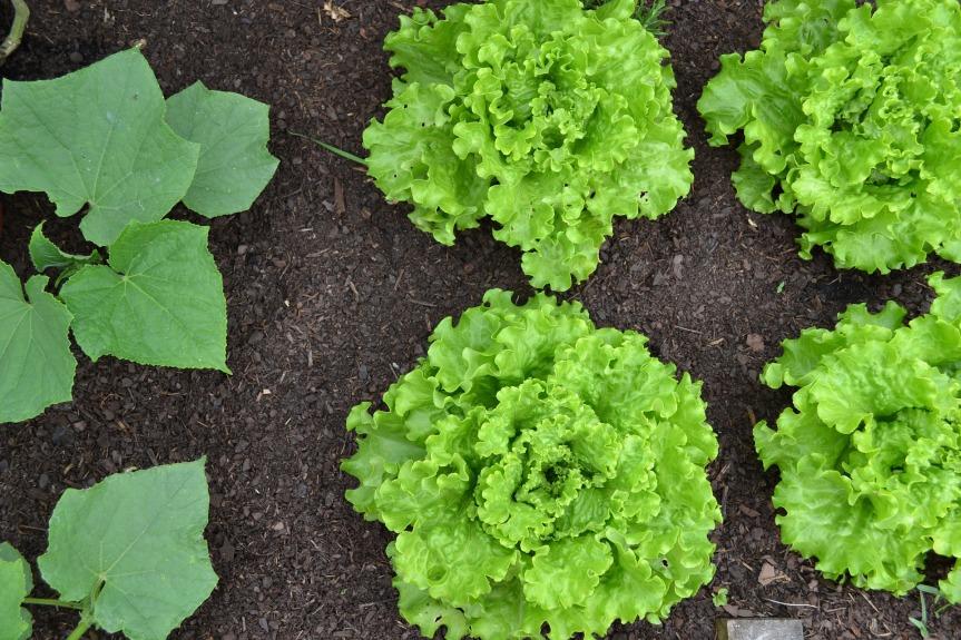vegetable-garden-1533962_1920
