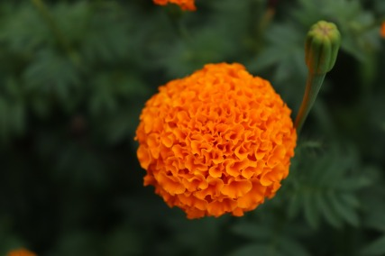 marigold-3412944_1920