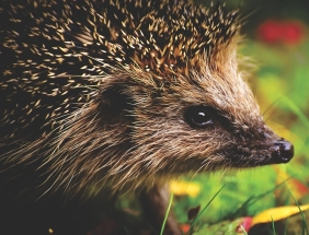 hedgehog-child-3636026_1280