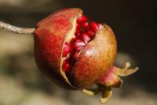 pomegranate-185456_1280