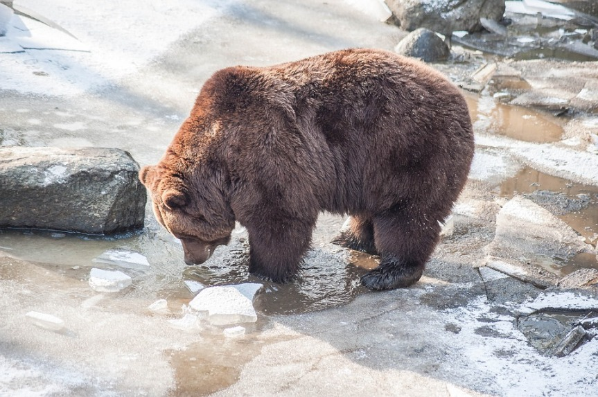 brown-bear-3152944_960_720