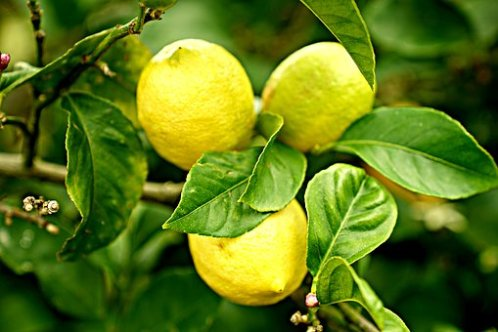 lemons-2825835__340