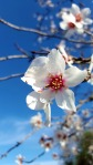 almond-tree-in-blossom-1325645_1280