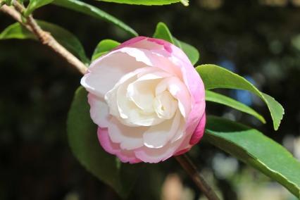 camellia-4126310_1280