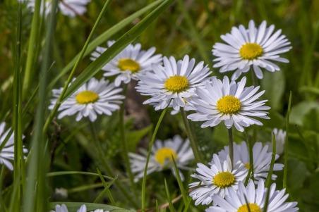 daisies-3503997_1280