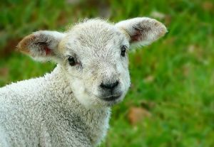 sheep-248632__480