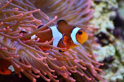 anemone-fish-1496866_1280