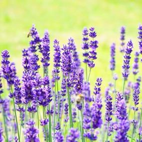 lavender-1117274_1280